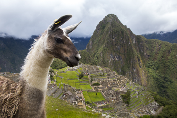 One of the many resident llamas is photographed at Machu Pichu, a UNESCO World Heritage Site and the most visited tourist destination in all of South America. Seemingly oblivious to the tourists trying to snap selfies with them, they wander about, occasionally stopping to take in the view between bites of lush Andean grass which they keep at a perfect length.