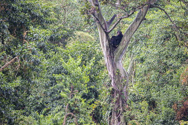 A chimpanzee sits in the crook of a tree in Ngamba Island's dense forest. The island is about 100 acres, 98 of which are forested.