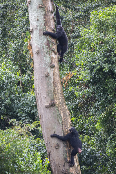 Female chimps Surprise (above) and Mini (below) climb a tree at Ngamba Island Chimpanzee Sanctuary. Incidentally, Surprise was unexpectedly born in the sanctuary despite the fact that all female chimps are on contraception to prevent them from conceiving because pace and resources are limited. As with humans, contraception is not 100%.