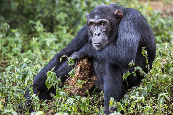 """Male chimp, Baron, is photographed with his """"security blanket"""" --a rag he found in the forest at the Ngamba Island Chimpanzee Sanctuary. As a baby, he was taken from his mother and kept in a wooden cage for a year along with sibling who died."""
