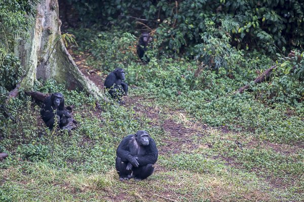 A few of the sanctuary's 48 chimpanzees hangs out at the forest's edge.