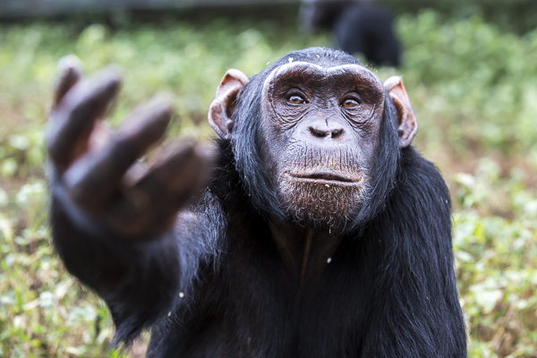 Female chimp, Medina, reaches out a hand requesting food. The hand reaching gesture among chimps is also used to beg for support from a friend or as a reconciliatory gesture after fights.