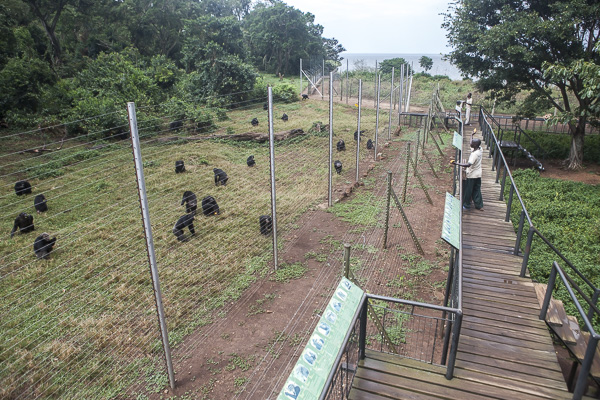 Care givers feed chimpanzees at the Ngamba Island Chimpanzee Sanctuary. While the chimps forage for food in the forest during the day, their food is also supplemented by the sanctuary's staff since the island's natural resources are not enough to feed such a large population of chimps.