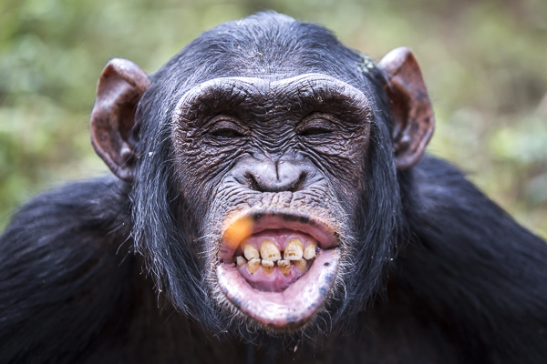 Female chimp, Medina, scrunches up her face as she tries to catch a piece of carrot in her mouth. When Medina arrived at Ngamba Island, her canine teeth had been removed and her front teeth smashed. She was malnourished with a big and hard stomach which was believed to have worms. She was treated and recovered steadily and now is a friendly and generous chimp.