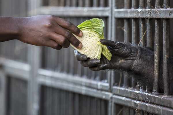 A chimpanzee reaches to take some cabbage from one of the care takers at the end of the day after returning from the forest. Because chimps can be very aggressive, the sanctuary's safety precautions include bars on the enclosures and a fence between the forest and the human camp.