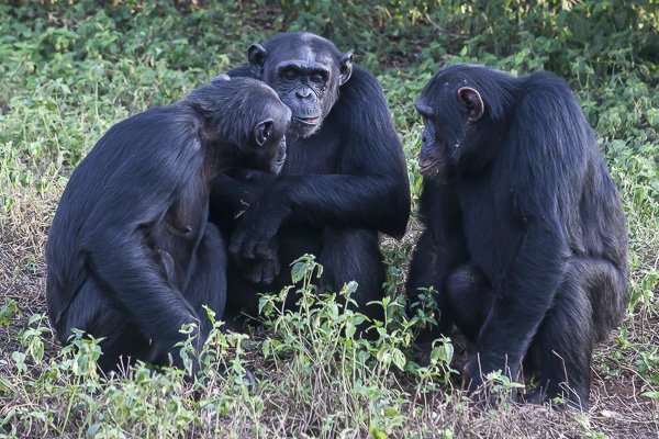 A small group of chimps communicate with each other at the forest's edge on Ngamba Island. While chimps don't use language per se, they communicate with one another through a complex system of vocalizations, facial expressions, body postures and gestures.