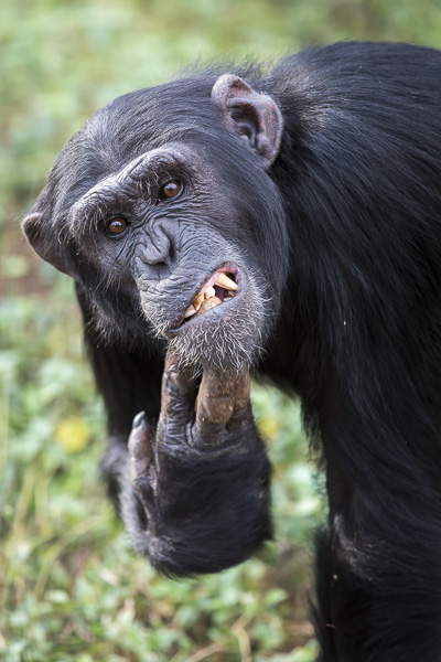 Male chimp, Rambo, scratches his chin. Chimp gestures and facial expressions are, unsurprisingly, so similar to humans'.