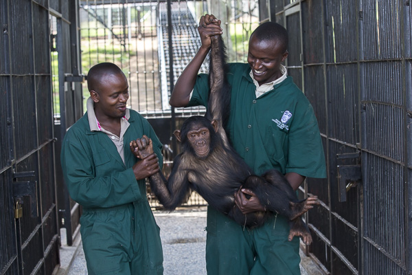 Female infant chimp, Sara, is carried by care givers after being sedated so Ngamba's veterinarian, Dr Joshua Rukundo, could examine and treat pox in her mouth at the Ngamba Island Chimpanzee Sanctuary.