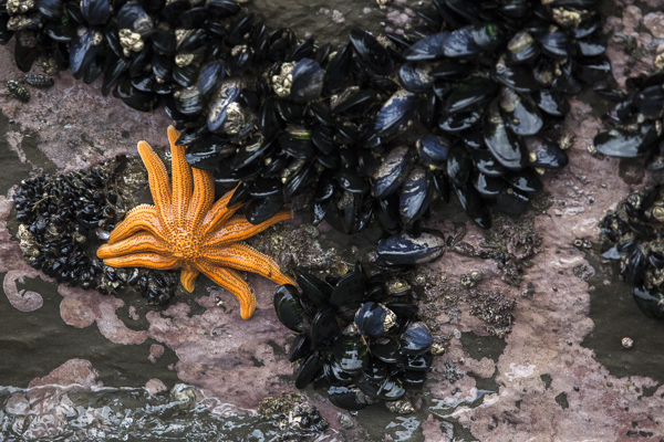 A brightly colored reef starfish hunts down its favorite prey--green mussels--on South Island's rocky west coast. The starfish plays an important role in reducing the expansion of invasive mussel species on the island.