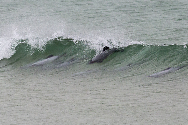 At Curio Bay—known to be a nursery for young dolphins—we watched these playful marine mammals surf waves and spring out of the water with seeming limitless enthusiasm.