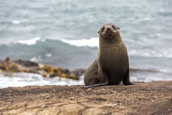 A bleary-eyed fur seal poses on a cliffside at Katika Point on New Zealand's wildlife-rich east coast.