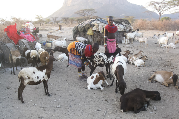 I thought this image, shot by Mampayun Lemartili, beautifully captured a slice of village life and the centrality of livestock in Samburu culture.
