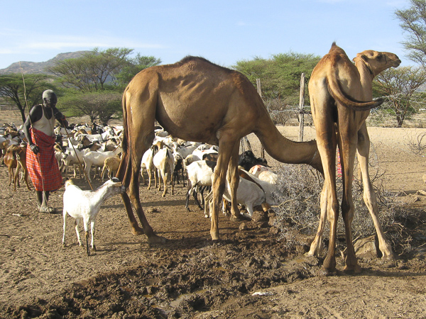 Another of Generica Lesuper's images captures the quiet morning route of watering camels in her village.