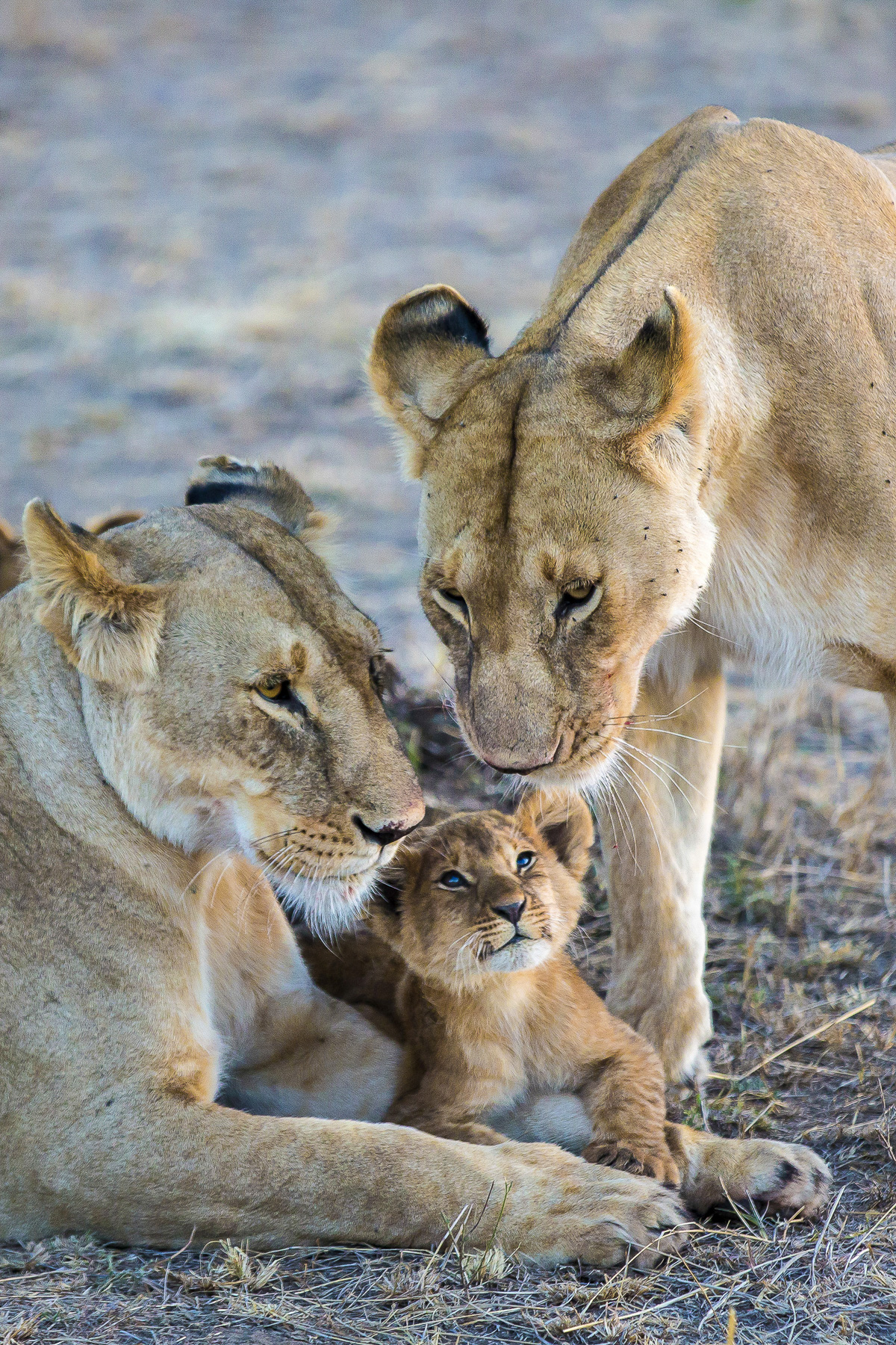 Two lionesses and a cub in the Masai Mara.